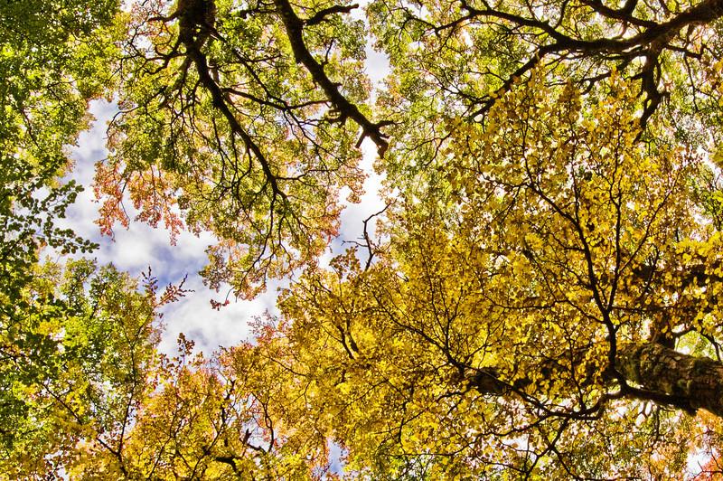 Autumnal fagus