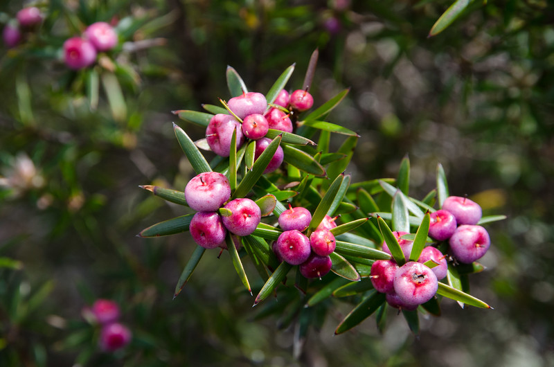 Best Mt Wellington walks - More native flowers in bloom