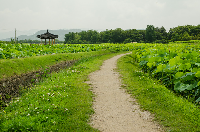 Gyeongju lotus ponds