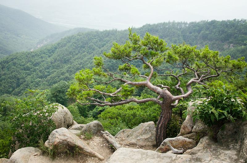 Gnarled pine