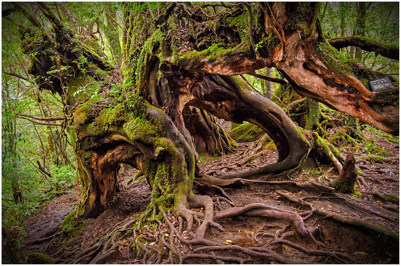 Gnarled and ancient