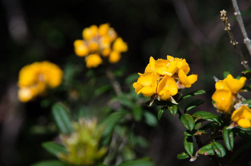 Best Mt Wellington walks - Yellow native flowers