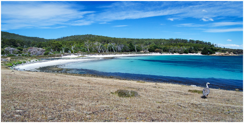 Hopground Beach (and Cape Barren Goose) - Maria Island, Tasmania