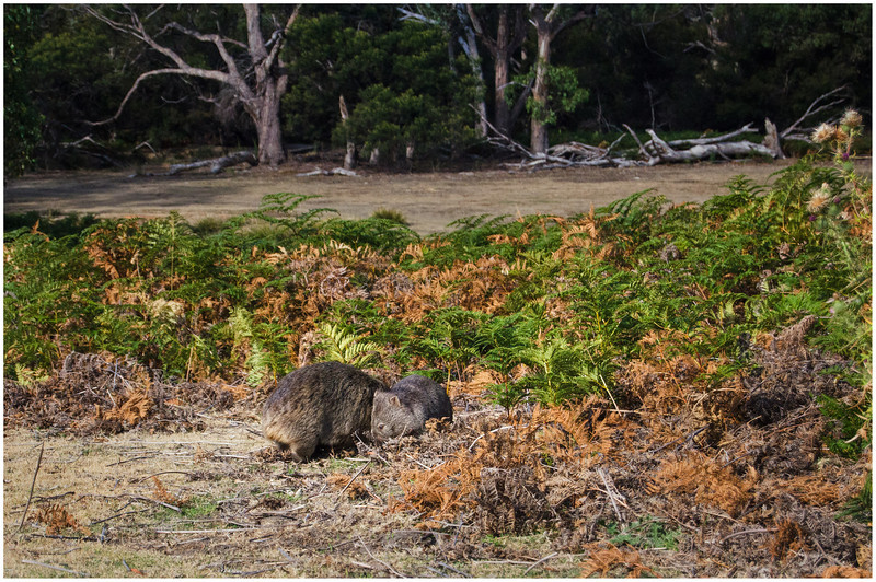 Mum and bubby wombat - Maria Island, Tasmania