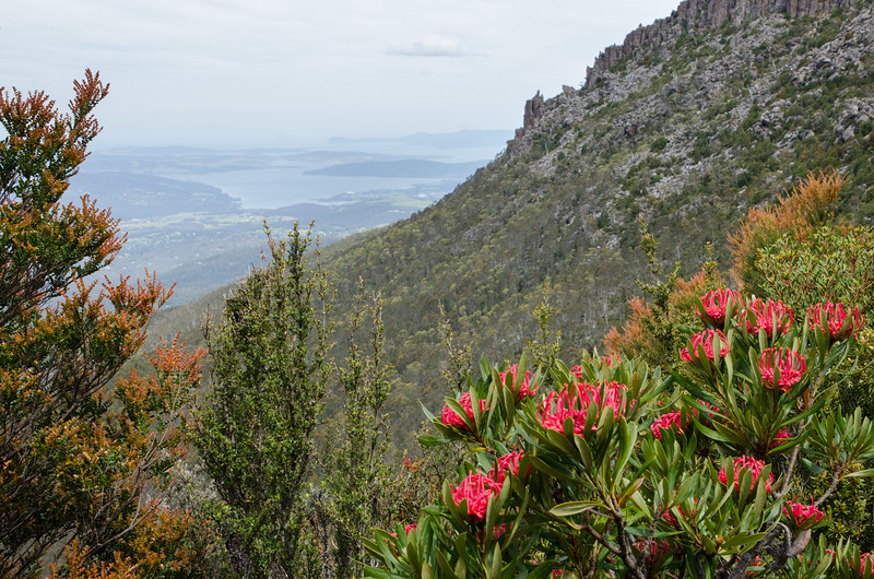Best Mt Wellington walks - Red waratahs and looking down to the channel below