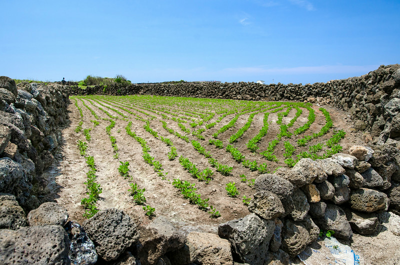 Striking contrast between the soft green crops and the harsh volcanic stone walls