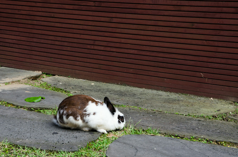 A random rabbit we spotted in the middle of suburbia, roaming free!
