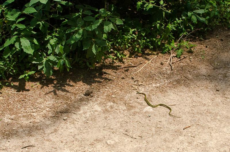Rhabdophis tigrinus, or tiger keelback snake