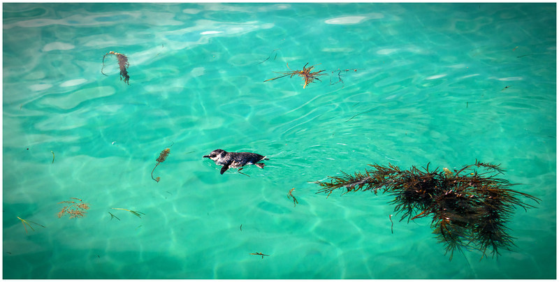 Frolicking Penguin - Maria Island, Tasmania